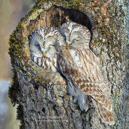 Ural Owls - Hokaido Japan by Rick Andrews
